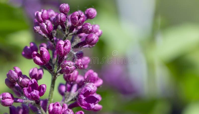 Лепта паука, вредитель Разрушает группы фиолетовых цветков сирени Сирень стоковые изображения