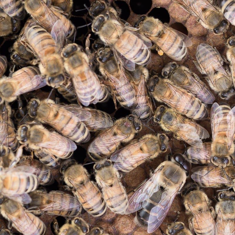 Лепта Varroa дальше подпирает пчелы меда работника на гребне стоковое изображение rf
