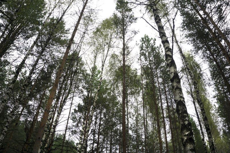 Лесистые лесные деревья подсвеченные золотым солнечным светом перед заходом солнца с солнцем излучают лить через деревья на дерев стоковые фотографии rf