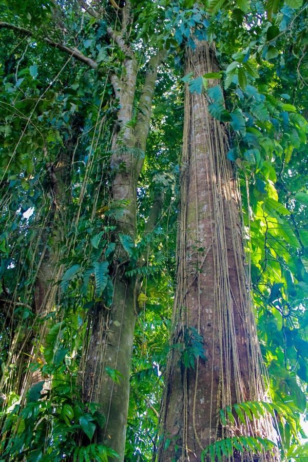Лесное дерево и лиана джунглей стоковые фотографии rf