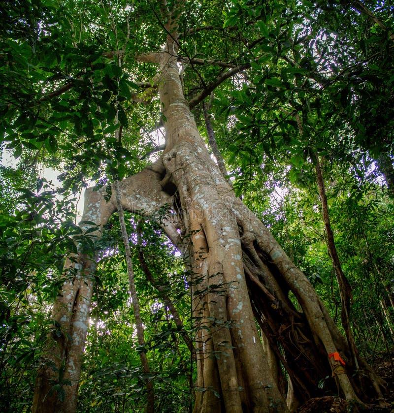 Лесное дерево и лианы джунглей стоковые фото