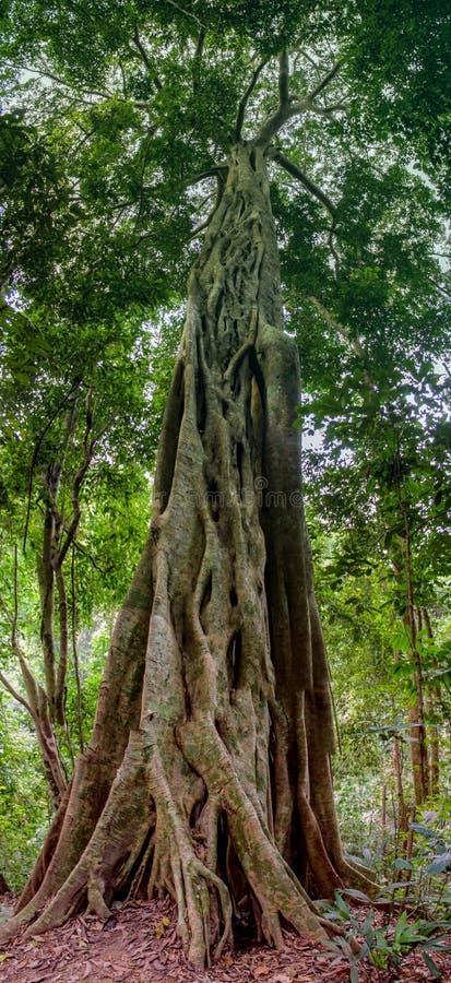 Лесное дерево и лианы джунглей стоковые изображения