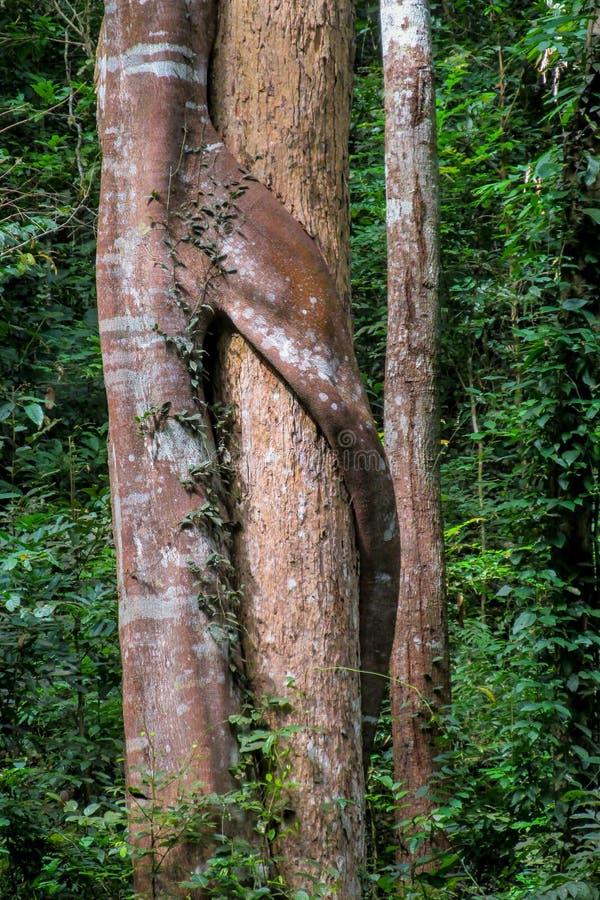 Лесное дерево и лианы джунглей стоковые изображения rf