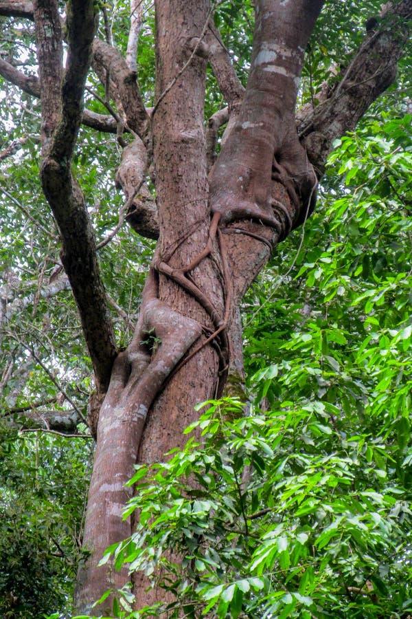 Лесное дерево и лианы джунглей стоковое изображение