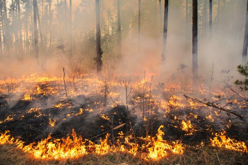 Лесной пожар в стойке сосны стоковое изображение rf