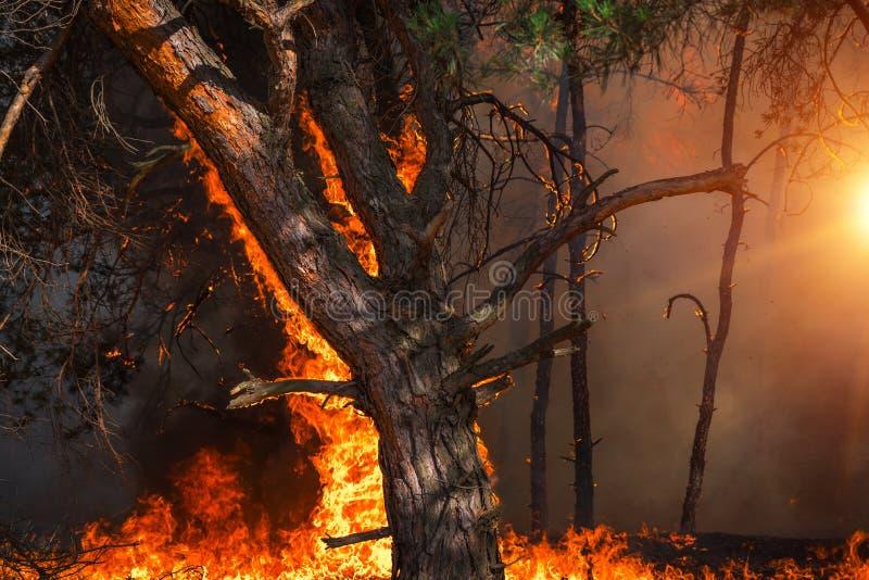 Лесной пожар на заходе солнца, горящий сосновый лес стоковые изображения rf