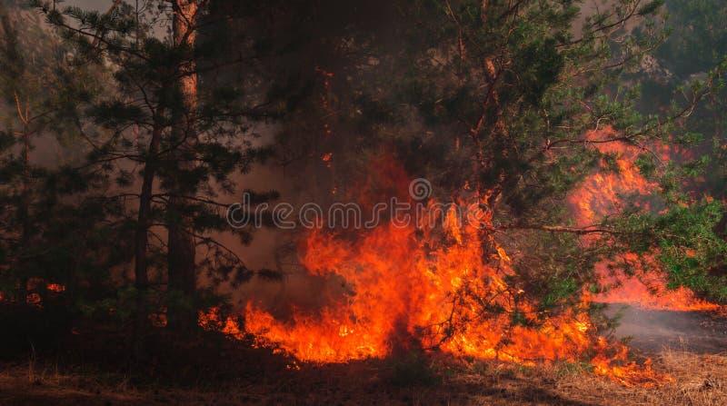 Лесной пожар на заходе солнца, горящий сосновый лес стоковая фотография rf