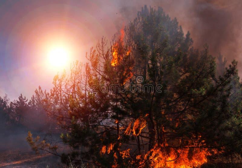 Лесной пожар на заходе солнца, горящий сосновый лес стоковые фото
