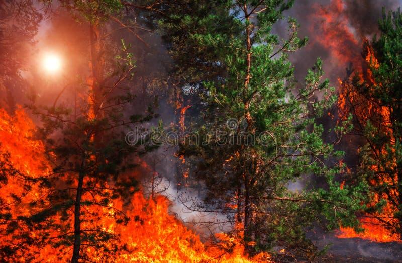 Лесной пожар на заходе солнца, горящий сосновый лес стоковые изображения