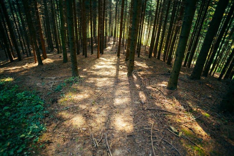 Лесные деревья в дневном свете стоковое изображение rf
