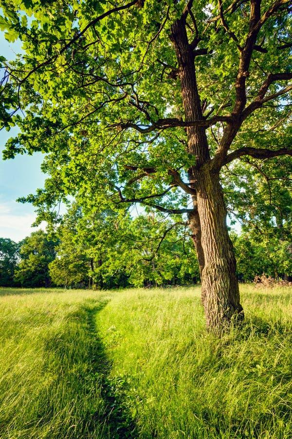 Лесные деревья лета солнечные и зеленая трава Природа стоковая фотография rf