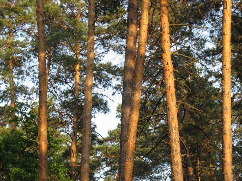 Лесные деревья предпосылки стоковое фото