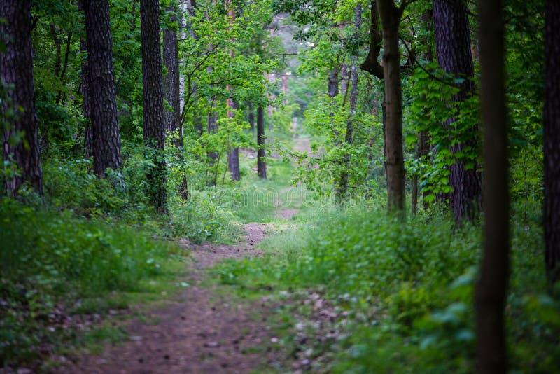 Лесные деревья прогулки внутренние стоковые фотографии rf