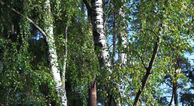 Лес белой березы в предыдущей осени на солнечный день стоковые фото