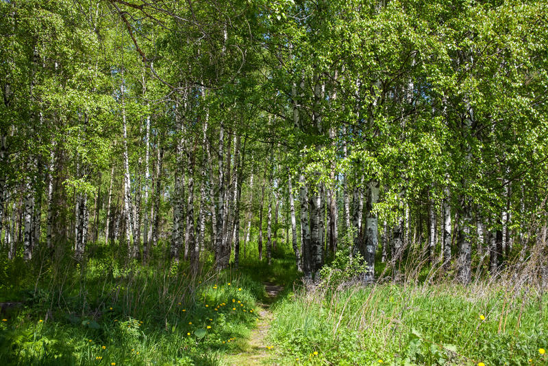 Лес березы весной стоковые фотографии rf