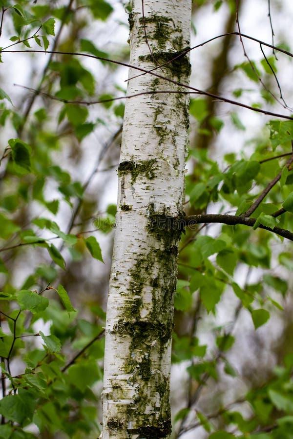 Лес березы в солнечном свете в утре стоковое фото rf