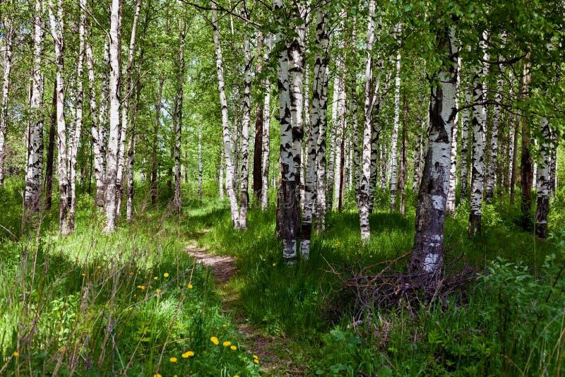 Лес березы на солнечный день стоковые изображения rf