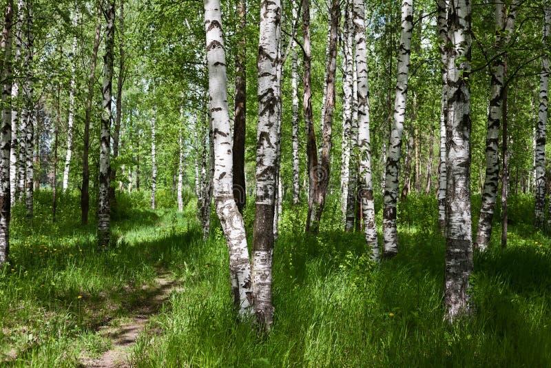Лес березы на солнечный день стоковое фото rf