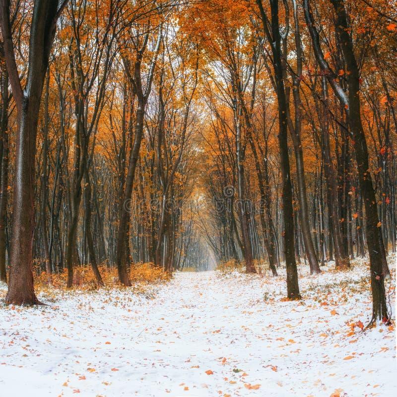 Лес бука горы в октябре с первым снегом зимы стоковое изображение