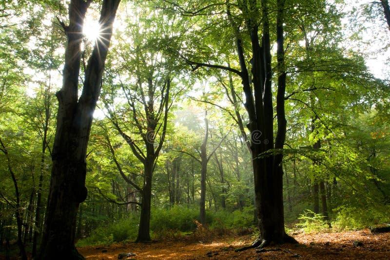 Лес бука после дождя стоковые фотографии rf