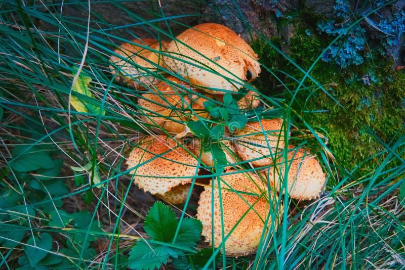 Лес величает ложные пластинчатые грибы стоковое фото rf