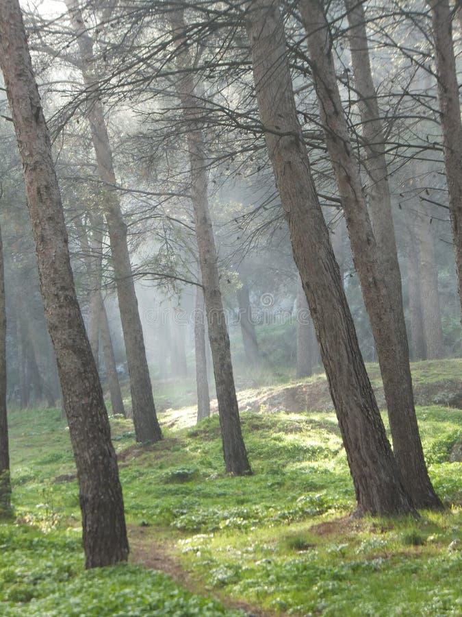 Лес весны положенный в кожух в туман, при sunrays течь вниз стоковая фотография