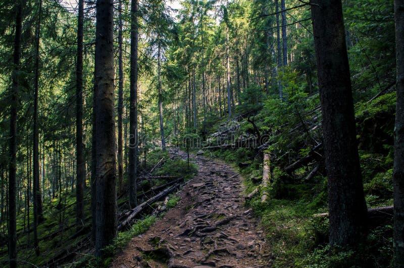 Лес, высокогорный каменный тропа с корнями древнего дерева стоковые изображения