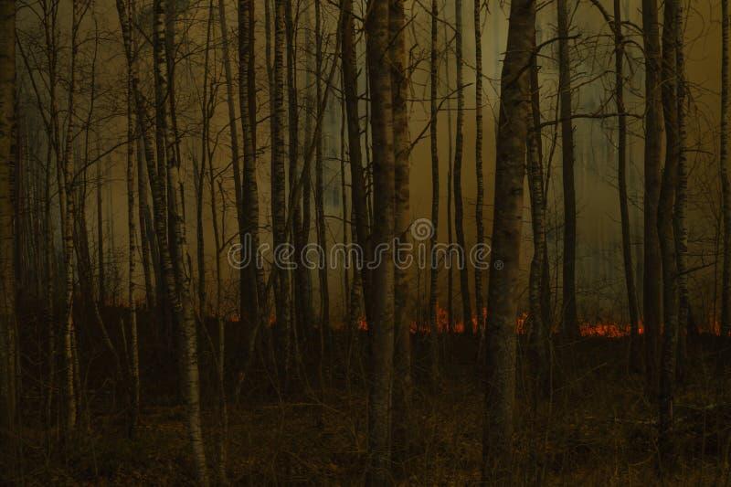 Лес в пламенах лесной пожар со стеной дыма огонь освещает вверх через деревья березы стоковая фотография rf