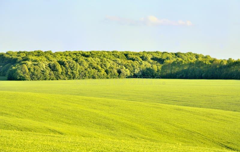 Лес в пшеничном поле стоковые изображения rf