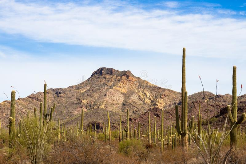 Лес гигантского Saguaro и других кактусов, плюс красивый горный пик внутри национального монумента кактуса трубы органа стоковое фото rf