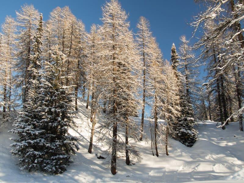 Download Лес горы в Engadine стоковое изображение. изображение насчитывающей порошок - 40586549