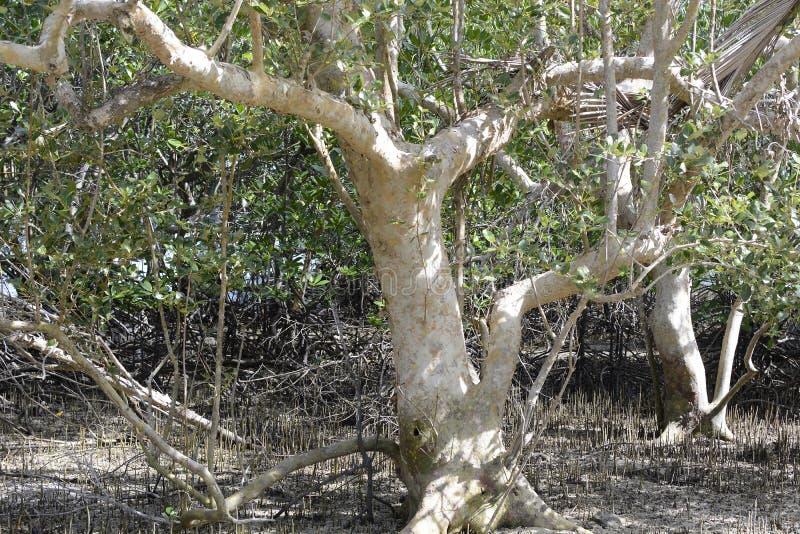 Лес дерева мангровы естественно растет на пляже с белым песком стоковое фото