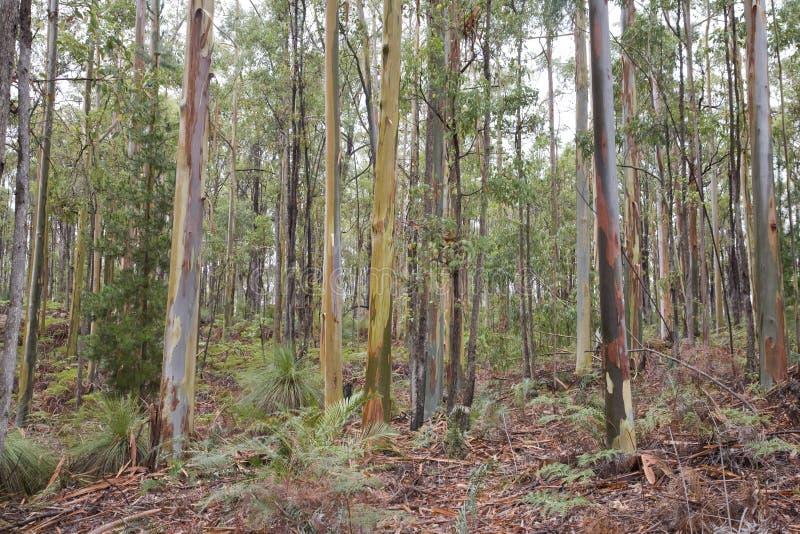 Лес деревьев евкалипта в Австралии стоковая фотография rf