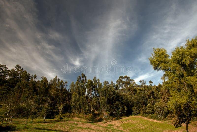 Лес деревьев эвкалипта в небе утра стоковое изображение rf