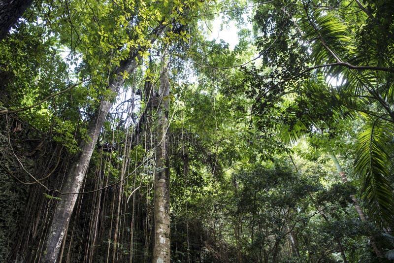 Лес джунглей в буераке Welchman Hall, Барбадос стоковое фото rf