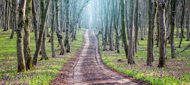 Лес дороги весной на ясный солнечный день Panorama_ стоковые изображения rf