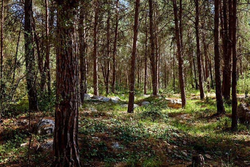 Лес ели сказки стоковая фотография rf