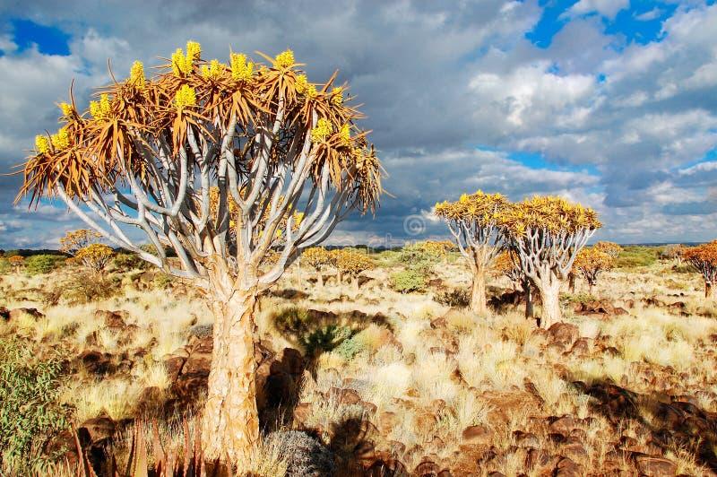 Лес дерева колчана (kokerboom) стоковые изображения