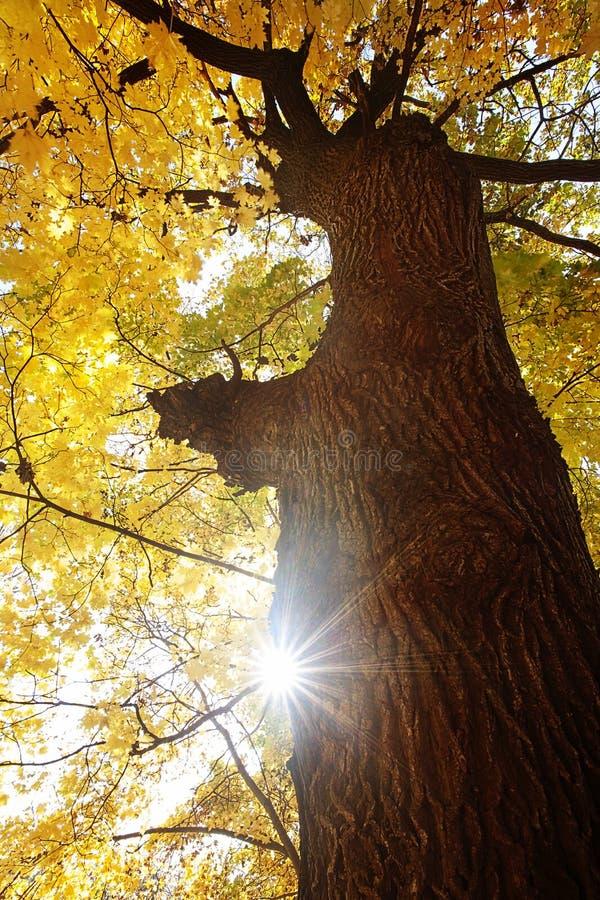 Лес деревьев клена стоковое изображение rf