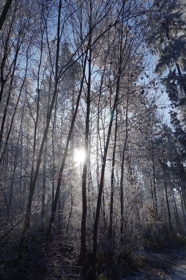 Лес зимы в backlighting стоковые изображения