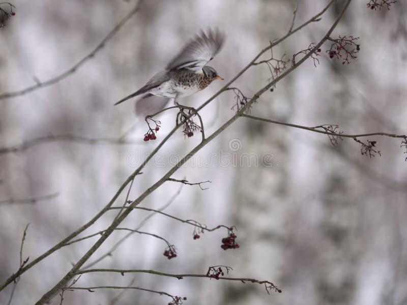 Лес зимы! Птицы клюя ягоды! стоковая фотография