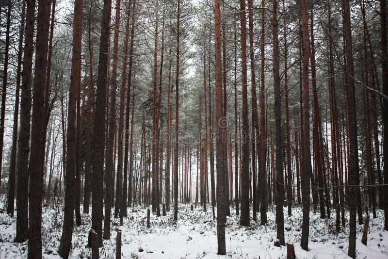 Лес зимы с snowcapped деревьями и хоботами Величественный ландшафт соснового леса в морозном дне Обои природы _ стоковая фотография