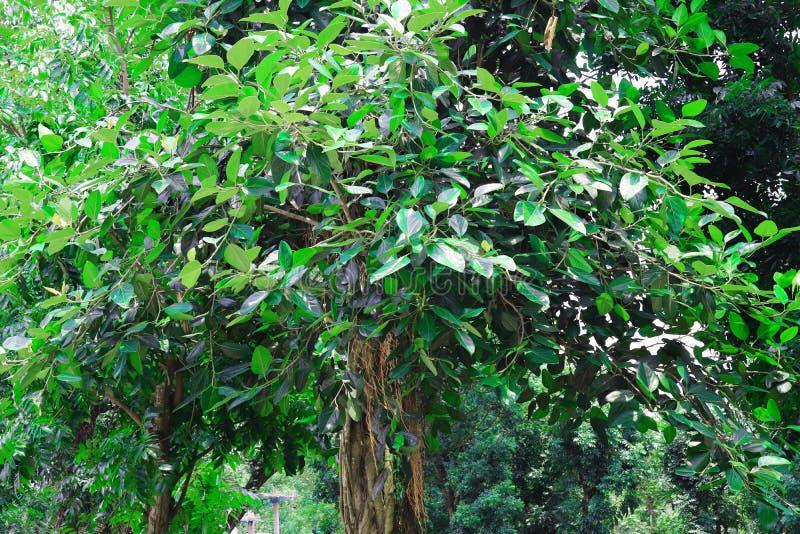 Лес и зеленое дерево джунглей Красивый естественный пейзаж Глубокие тропические джунгли r Предпосылка падения Солнечный свет леса стоковое изображение