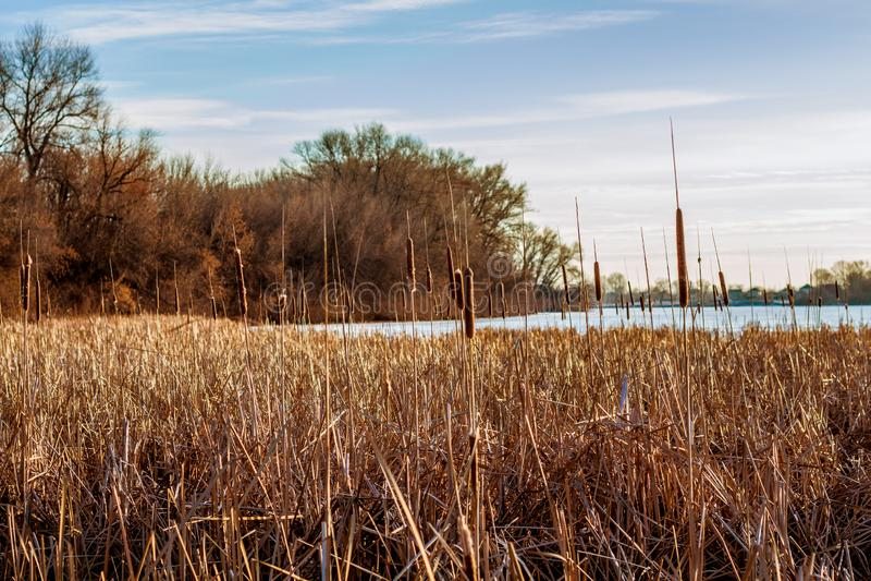 Лес и тростники на замороженном береге озера стоковые изображения