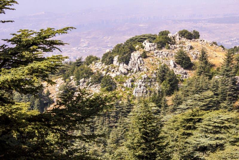 Лес кедра в Ливане Горы Ливана покрыты с толстыми лесами кедра Кедр символ Ливана стоковое изображение