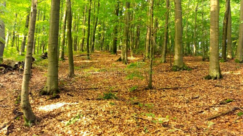 Лес лета в горах, больших деревьях стоковая фотография