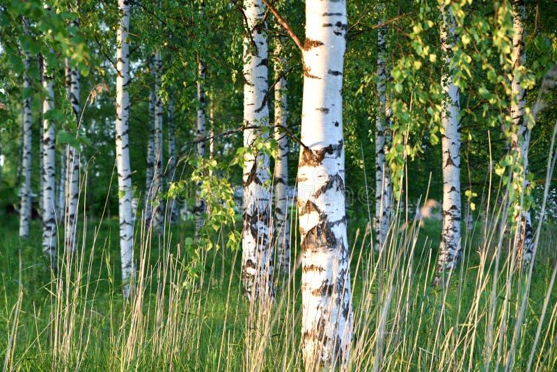 Лес лета в Финляндии стоковая фотография rf