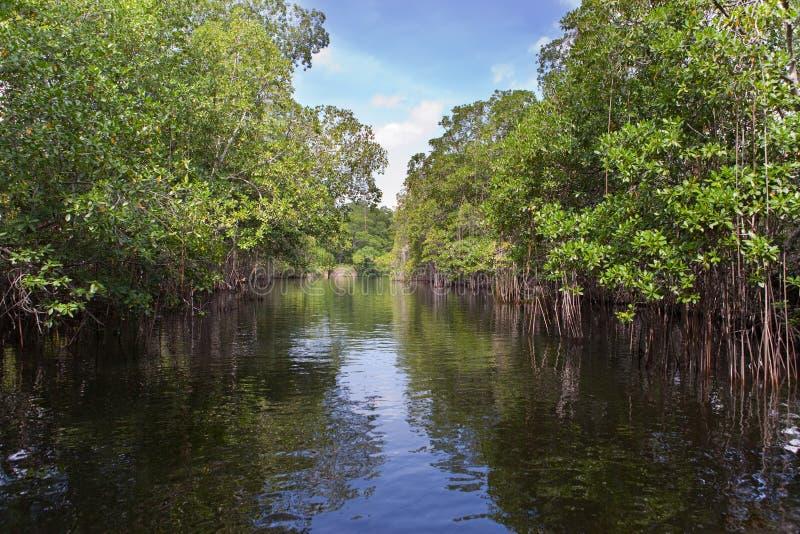 Лес мангровы в солнечном дне стоковое изображение rf