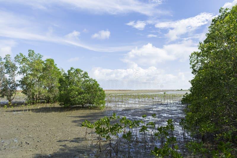 Лес мангровы в ярком небе стоковое изображение rf