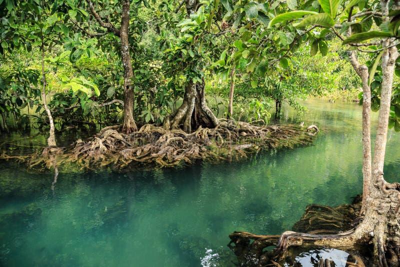 Лес мангровы стоковая фотография rf